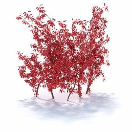 枫树植物模型