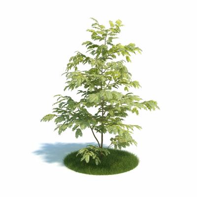 合欢树盆栽