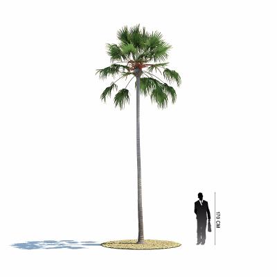 山蒲葵 棕榈树