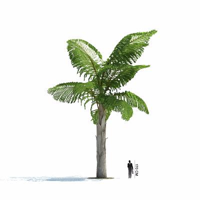 鱼尾葵 棕榈树